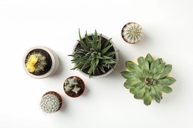 Tłustoszowate rośliny na biel powierzchni. roślina domowa
