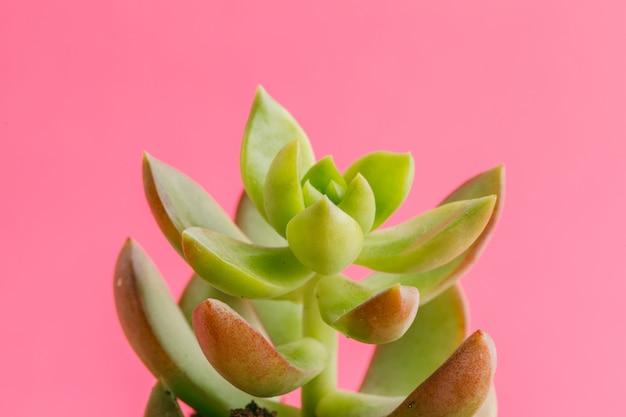 Tłustoszowate rośliny na pastelowym różowym tle. leżał płasko.