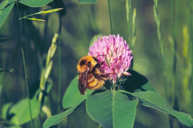 Tłuszcz pszczoły znaleźć nektar w różowej koniczyny z bliska.