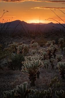 To jest zdjęcie przedstawiające jumping cholla podczas zachodu słońca w parku narodowym saguaro, arizona, usa.