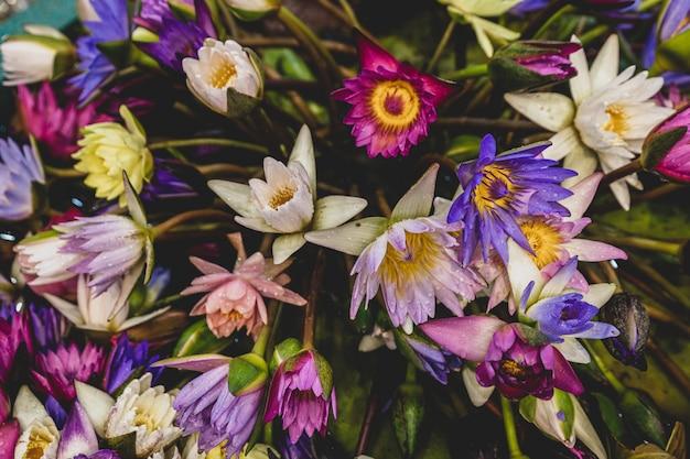 To piękne wielokolorowe kwiaty lotosu
