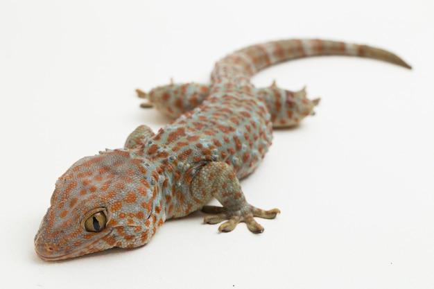 Tokaj gecko gekon gekon na białym tle