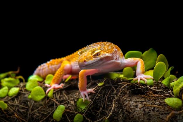 Tokaj gecko na czarnym tle