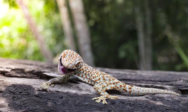 Tokaj gekon przylega do drzewa na zielonym rozmytym tle
