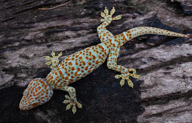 Tokaj gekon przylega do starego drewna w tle