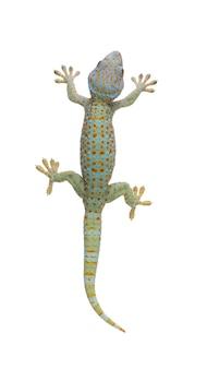 Tokajski gekon - gekon na białym odosobnionym