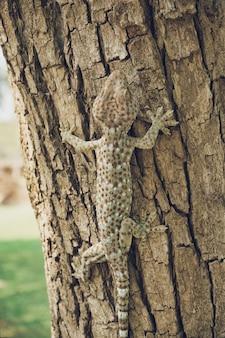 Tokajski gekon wspina się na drzewo