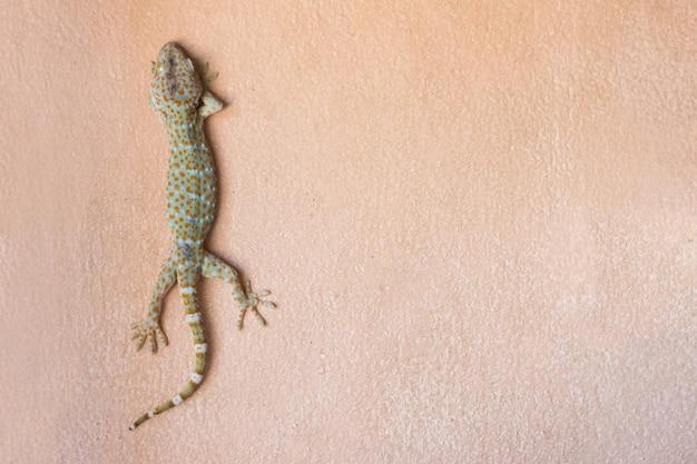 Tokay gecko na ścianie wewnątrz