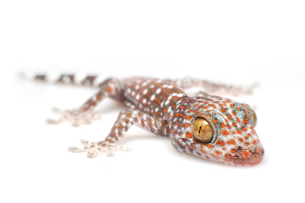 Tokay gekon na białym tle