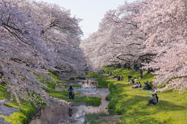 Tokio, japonia - 30 marca 2018: ludzie piknik i cieszyć się na tachikawa do widzenia wiśni sakura