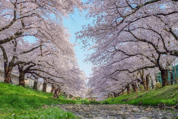 Tokio japonia, kwiecień, - 12: piękna przejście ścieżka z sakura drzewami w japan wiosny sezonie