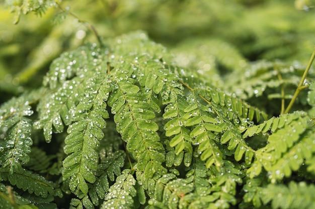 Toona rzęski. tekstura australijskich roślin cedru z kroplami wody.