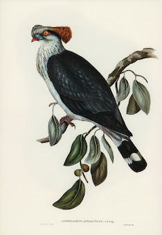 Top-knot gołąb (lopholaimus antarcticus) zilustrowany przez elizabeth gould