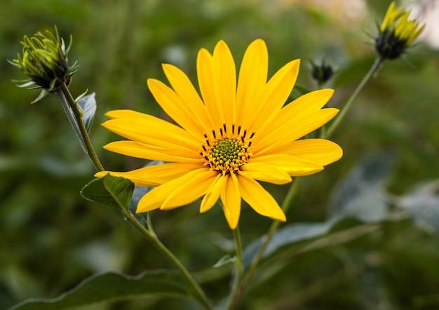 Topinambur. słonecznik bulwiasty