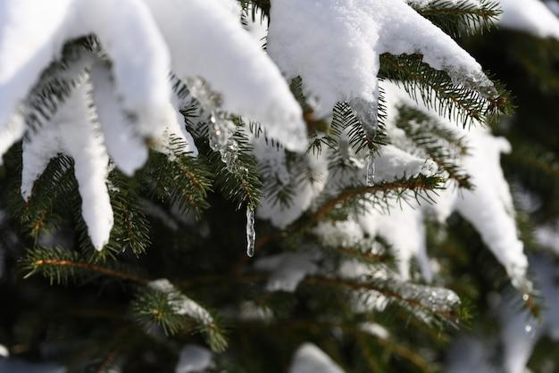 Topniejący śnieg na wiosnę uformował sopel lodu na drzewie iglastym.