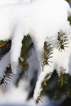 Topniejący śnieg wiosną uformowany sopel na drzewie iglastym