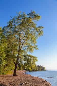 Topola na piaszczystej plaży w słoneczny jesienny dzień. krajobraz morski na początku czerwca