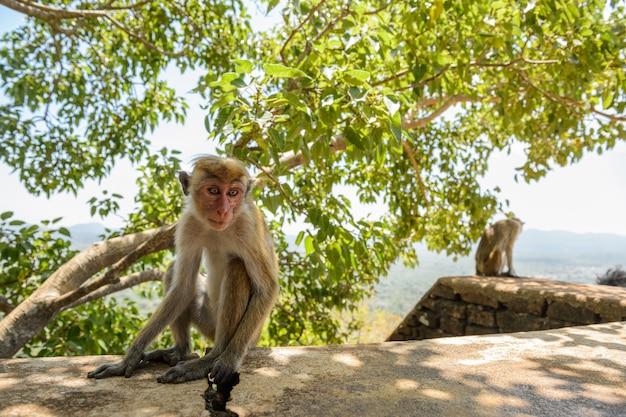 Toque makak (macaca sinica) siedzi na skale w cave temple w dambulla. endemiczna małpa na sri lance.