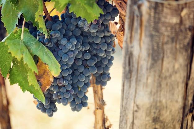 Toskańska winnica z czerwonymi winogronami.