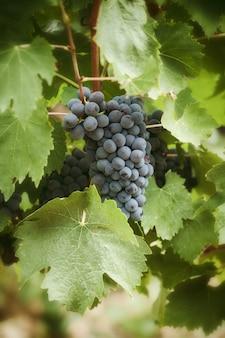 Toskańska winnica z czerwonymi winogronami