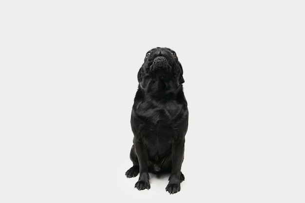Towarzysz mops-pies pozuje. ładny zabawny czarny piesek lub zwierzę grając na białym tle na ścianie białego studia. pojęcie ruchu, akcji, ruchu, miłości do zwierząt. wygląda na szczęśliwą, zachwyconą, zabawną.
