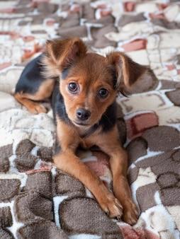 Toy terrier, z bliska. rosyjski toy terrier pies