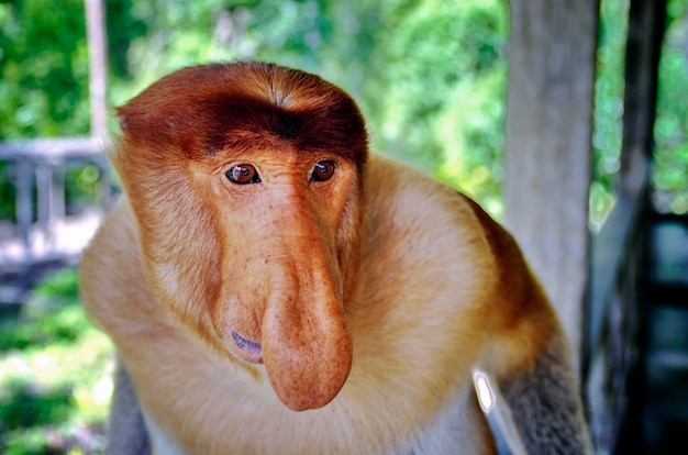 Trąbiaste małpy endemiczne na borneo w malezji