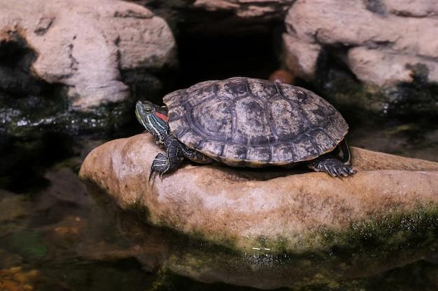 Trachemis odpoczywa na kamieniu. egzotyczny żółw wodny. suwak stawu.