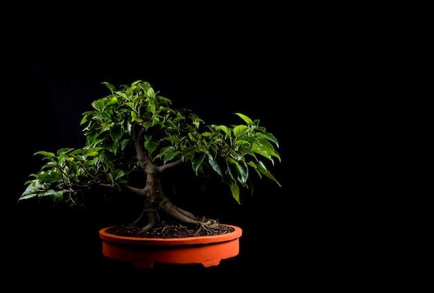 Tradycyjne japońskie miniaturowe drzewko bonsai w doniczce na białym tle na czarnym tle