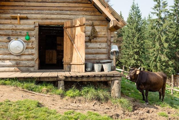 Tradycyjny ser wyrabiany w autentyczny sposób w drewnianym domku górskim. swobodnie pasące się krowy domowe i zdrowe. karpaty, ukraina.