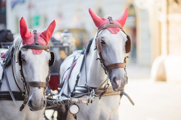 Tradycyjny trener koni fiaker w wiedniu w austrii