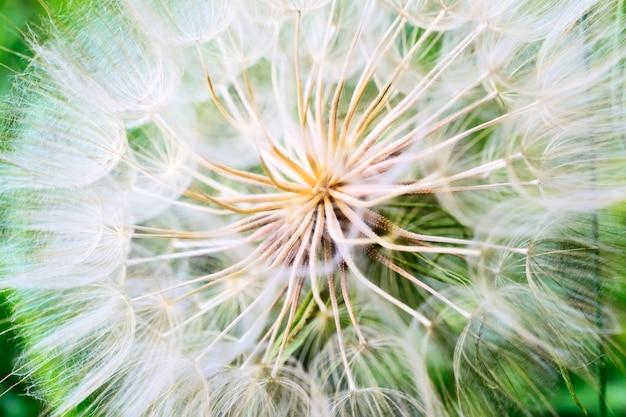 Tragopogon pseudomajor s. nikit. nasiona mniszka lekarskiego, zdjęcie z bliska