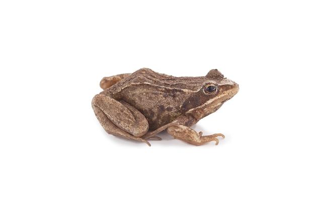 Trawa brązowa żaba siedzi na białym tle