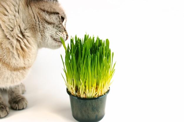 Trawa dla zwierząt domowych lub trawa dla kota. kot domowy je zieloną trawę na białym tle z miejsca na kopię
