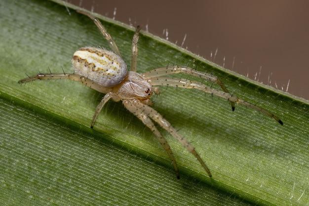 Trawa neoscona pająk z gatunku neoscona moreli