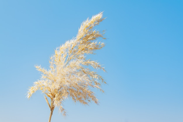 Trawa pampasowa na tle błękitnego nieba. naturalne suche trzciny