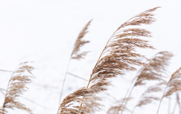 Trawa pampasowa rozgałęzia się na tle zimowej przyrody