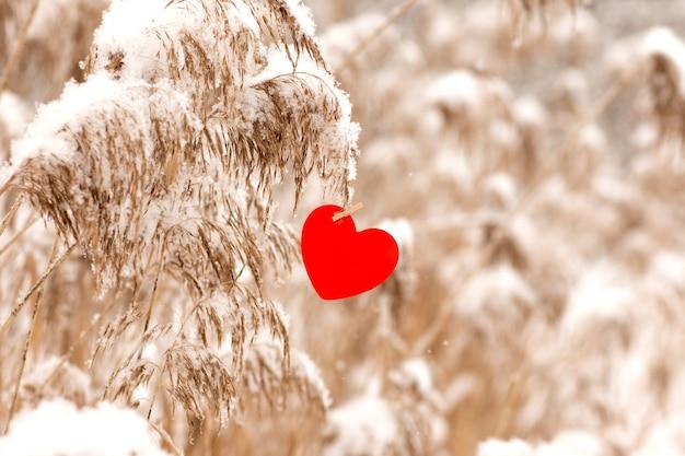 Trawa pampasowa w śniegu z czerwonym sercem na walentynki w tle