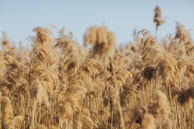 Trawa pampasowa z jasnoniebieskim niebem w tle