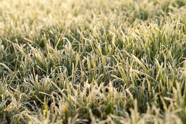Trawa pokryta kryształkami lodu i szronem podczas zimowych przymrozków przy słonecznej pogodzie