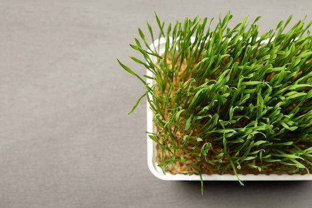 Trawa pszeniczna. kiełkujące ziarna pszenicy w plastikowym pojemniku. trawa pszeniczna do spożycia przez ludzi. koncepcja diety, transparent wegetarianizm i weganizm. zdrowy tryb życia.