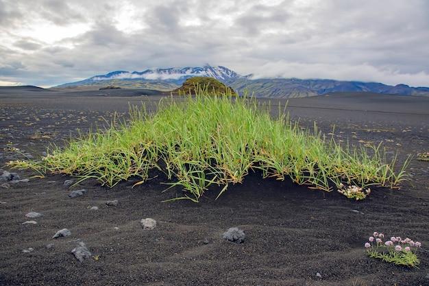 Trawa rośnie na czarnym wulkanicznym piasku na tle gór w islandii