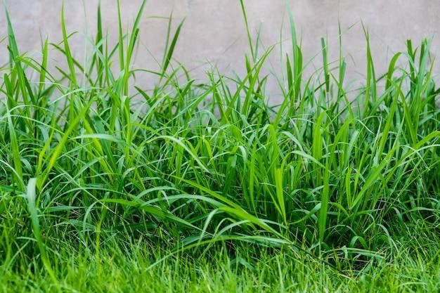 Trawa w ogródzie natury tło