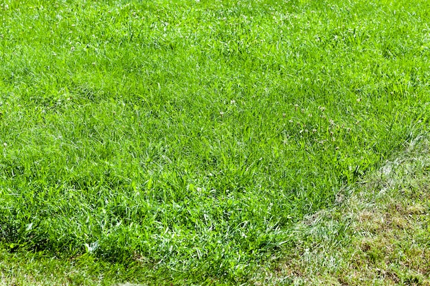 Trawa zielona rosnąca na polu i różne rośliny, w tym do karmienia zwierząt domowych i wypasanych zwierząt gospodarskich