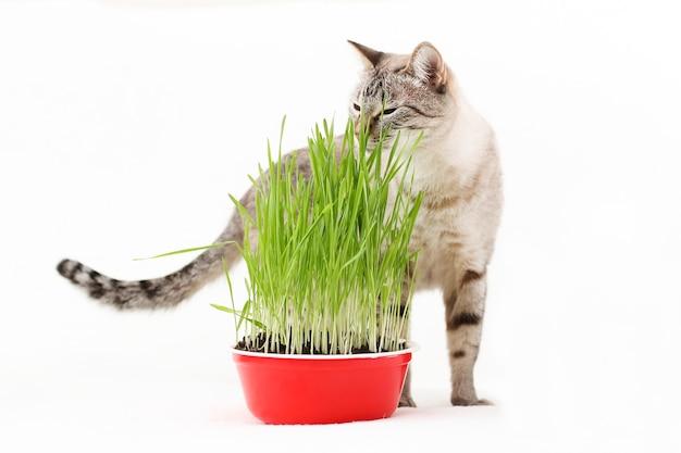 Trawę dla kotów sadzi się w domu. pręgowany kot z zieloną trawą. opieka i karmienie zwierząt domowych.