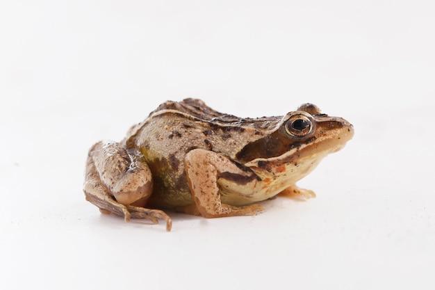 Trawiasta żaba brązowa siedzi na białym tle i patrzy w bok