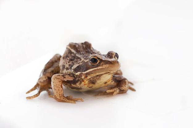 Trawiasta żaba brązowa siedzi na białym tle i patrzy w przyszłość