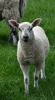 Trawiaste pole z młodą jagnięciną o białej twarzy i czarnych plamkach