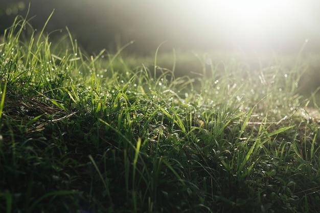 Trawiaste pole z rosą o poranku