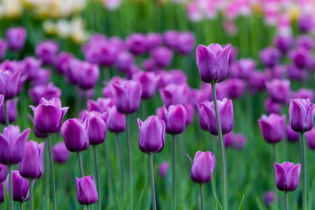 Trawnik z fioletowymi tulipanami, tło przedstawia różnorodne tulipany